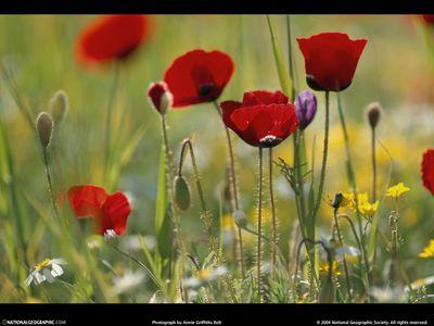 Petra-poppies-525137-lw